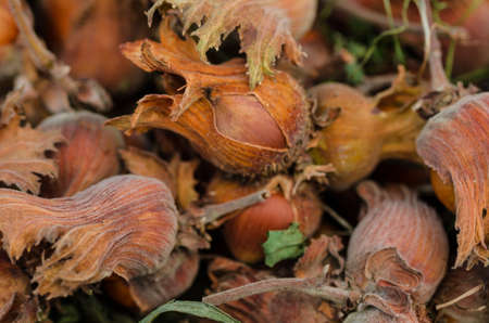 Raw hazelnuts after the harvest