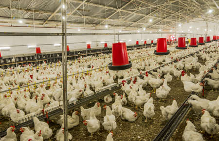 chicken farm, production of white meat