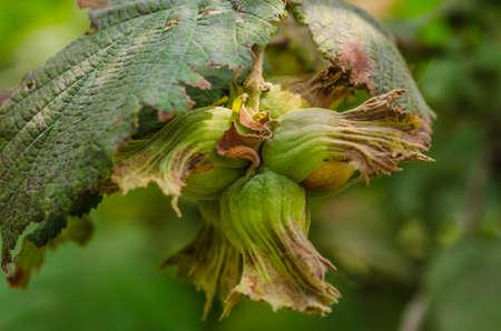 albero nocciola: Hazel filbert tree with hazelnuts on the branch Archivio Fotografico