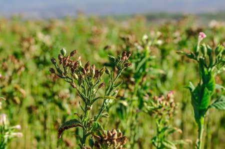 Tobacco field in Anatolia, Turkey