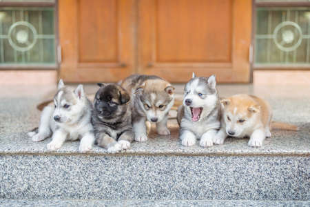 vigilant: Group of Siberian husky puppies Stock Photo