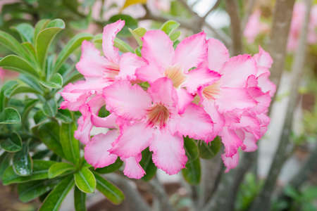 Floral background. Close up of Tropical flower Pink Adenium. Desert rose photo