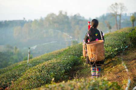 tea breaks: Woman from Thailand breaks tea leaves on tea