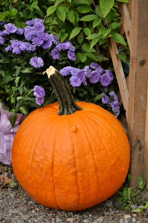 large pumpkin: Large pumpkin with purple mums