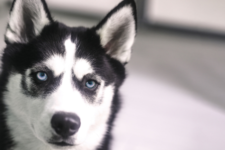 Gorgeous Portrait Of Husky With Blue Eyes In Studio Imagens