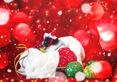 Adorable Black and White  Christmas Pomeranian Puppy In A Sled Being Mischievous With A Christmas Red Ribbon Bow And Green Ornaments Imagens