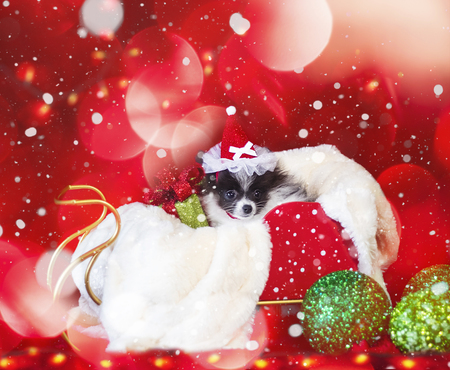 Adorable Black and White  Christmas Pomeranian Puppy In A Sled With A Christmas Red Ribbon Bow And Green Ornaments