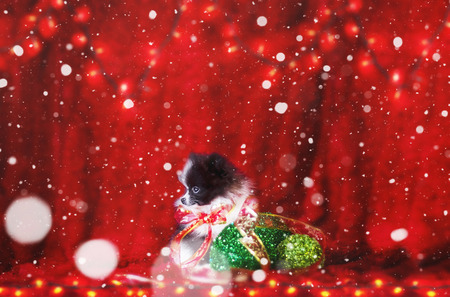 Merry Christmas From Cute Black and White Pomeranian Puppy Puppy With A Christmas Red Ribbon Bow And Green Ornaments