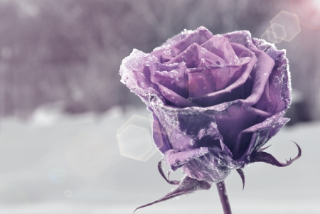 winter day: Purple frozen rose Stock Photo