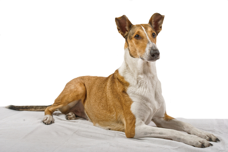 haired: Female pure breed golden smooth (short haired) collie lying on the blanket with isolated background Stock Photo