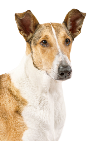 pure breed: Portrait of the female pure breed golden smooth (short haired) Collie isolated on white