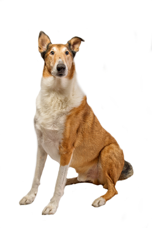short haired: Pure breed golden smooth (short haired) Collie isolated on white