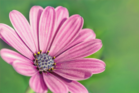 african daisy: Purple african daisy on the green background