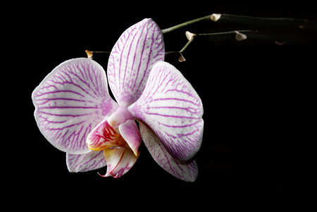 Orchid flower on black background, low key blooming orchid Stock Photo