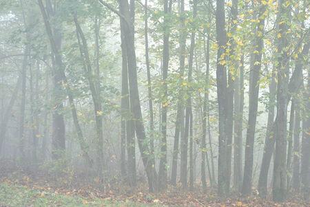 greenwood: Mystical greenwood in deep mist Stock Photo