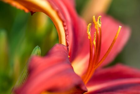 day lily: Dark red day lily flower macro
