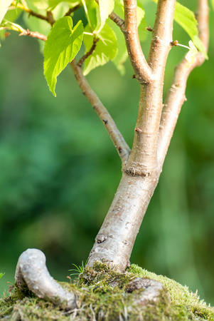plantlife: Close up of the bonsai tree