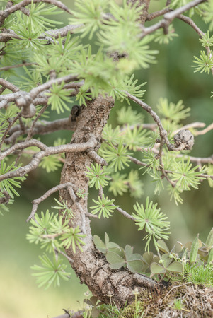plantlife: Close up of the bonsai larch