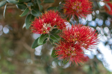 Blooming Pohutukawa, New Zealand Christmas tree Stock Photo