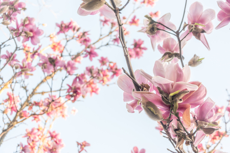 Blooming pink magnolia tree Stock Photo