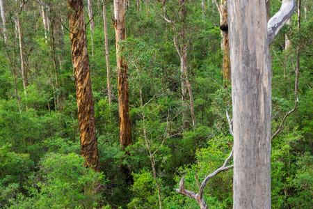 karri: Native south Western Australia forest