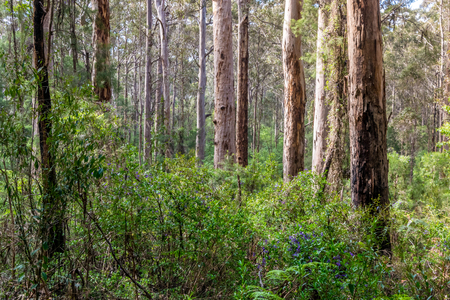 Native south Western Australia forest