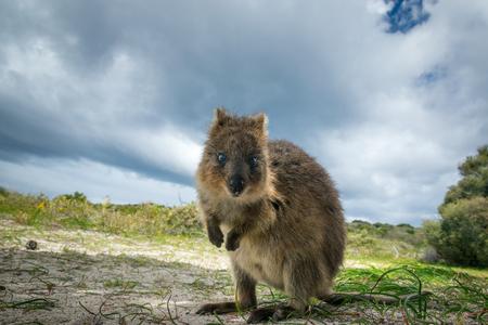Aanbiddelijke quokkakangoeroe, Rottnest-eiland, Westelijk Australië Stockfoto