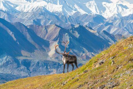 Caribou deer in front of mountains in Denali national park, Alaska