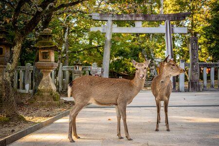 Cute Japanese deer in front of a Tori Gate, Nara park, Japan