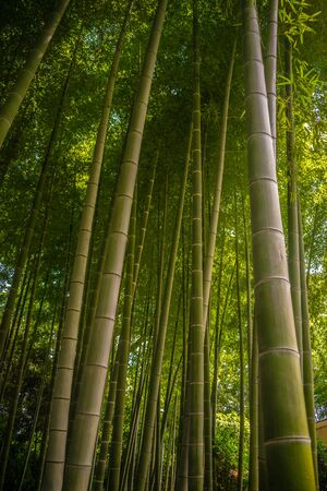 Green Bamboo forest, tall bamboo plants