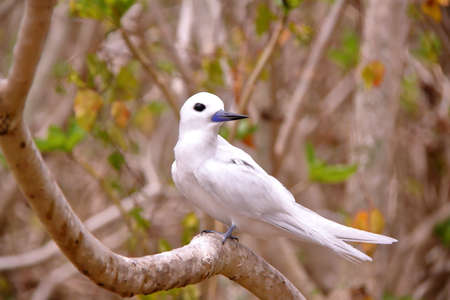 RODRIGUES ISLAND, MAURITIUS: Portrait of a White tern (Gygis Alba) at Cocos Island Stock Photo