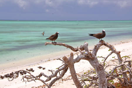 RODRIGUES ISLAND, MAURITIUS: Brown noddy (Anous Stolidus) at Cocos Island
