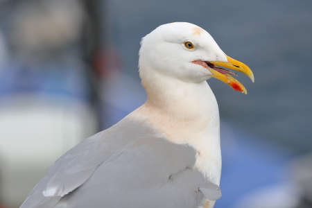 Portrait of a seagull in the Portree fishing harbor, Isle of Skye, Highlands, Scotland, UK