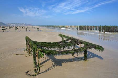 Mussels cultivated on poles (bouchots) on the beach with Cap Gris Nez in the background, Cote d'Opale, Pas de Calais, Hauts de France, France