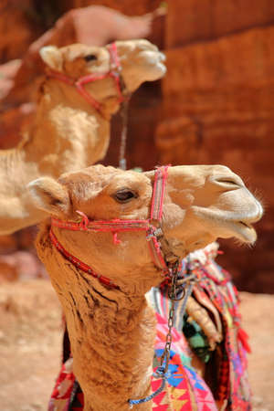 Portrait of camels in Petra, Jordan, Middle East