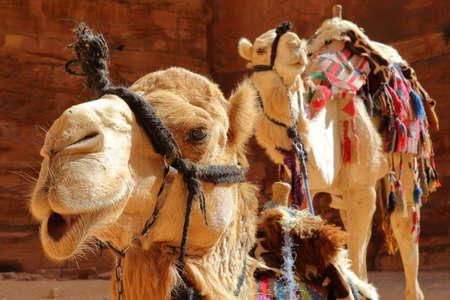 Portret van kamelen in Petra, Jordanië, het Midden-Oosten