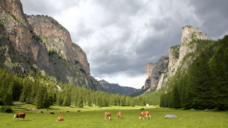 Cows in a meadow along Vallunga Valley above Selva with  Saint Silvestro Chapel in the background, Val Gardena, Dolomites, Italy