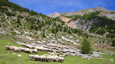 A flock of sheep located along Cristillan Valley above Ceillac village, Queyras Regional Natural Park, Southern Alps, France
