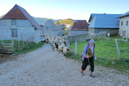 LUKOMIR, BOSNIA AND HERZEGOVINA - SEPTEMBER 17, 2019:  A shepherd herding flock of sheep early morning outside Lukomir village. Lukomir is Bosnias highest village at 1469 meters and the most remote in the entire country