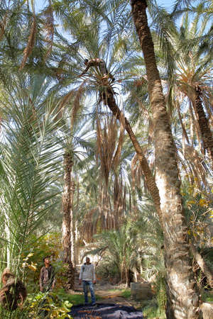 TOZEUR, TUNISIA - DECEMBER 19, 2019: A worker climbing on a palm tree to cut the bunches of dates inside the palm grove Standard-Bild - 141072872