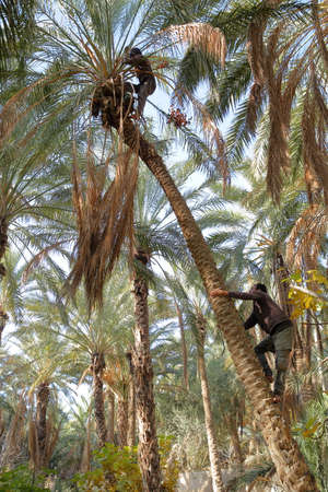 TOZEUR, TUNISIA - DECEMBER 19, 2019: Two workers climbing on a palm tree to cut the bunches of dates inside the palm grove