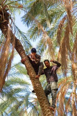 TOZEUR, TUNISIA - DECEMBER 19, 2019: Two workers climbing on a palm tree to cut the bunches of dates inside the palm grove, and posing for the camera Standard-Bild - 141072874