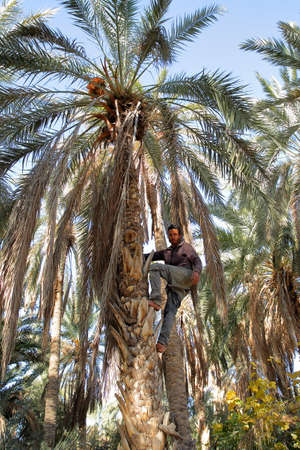 TOZEUR, TUNISIA - DECEMBER 19, 2019: A worker climbing on a palm tree to cut the bunches of dates inside the palm grove
