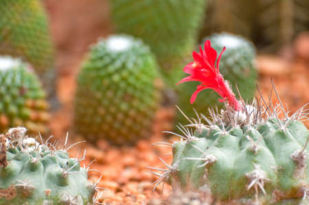 red flower of ball cactus photo