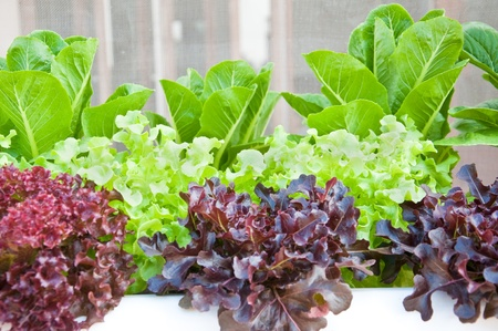 chinese spinach: many kinds of soilless or hydroponic system Stock Photo