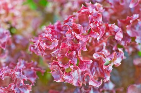 corallo rosso: quercia rossa, il corallo rosso del sistema vegetale fuori suolo o idroponica