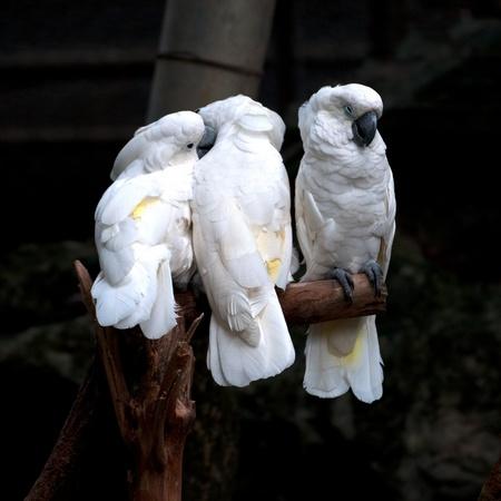 cockatoos: albero di cacatua
