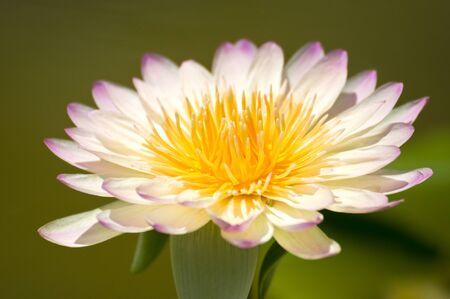 white and purple lotus photo