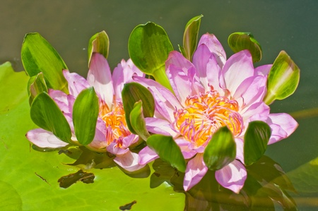 colorful of purple lotus photo