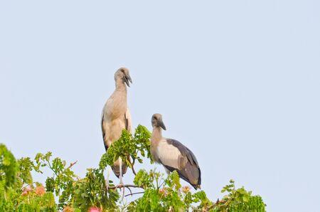 openbill: habitat of Asian Openbill Storks, Thailand